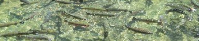cropped-trout.jpg