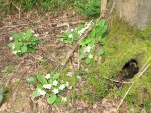 wildprimrose