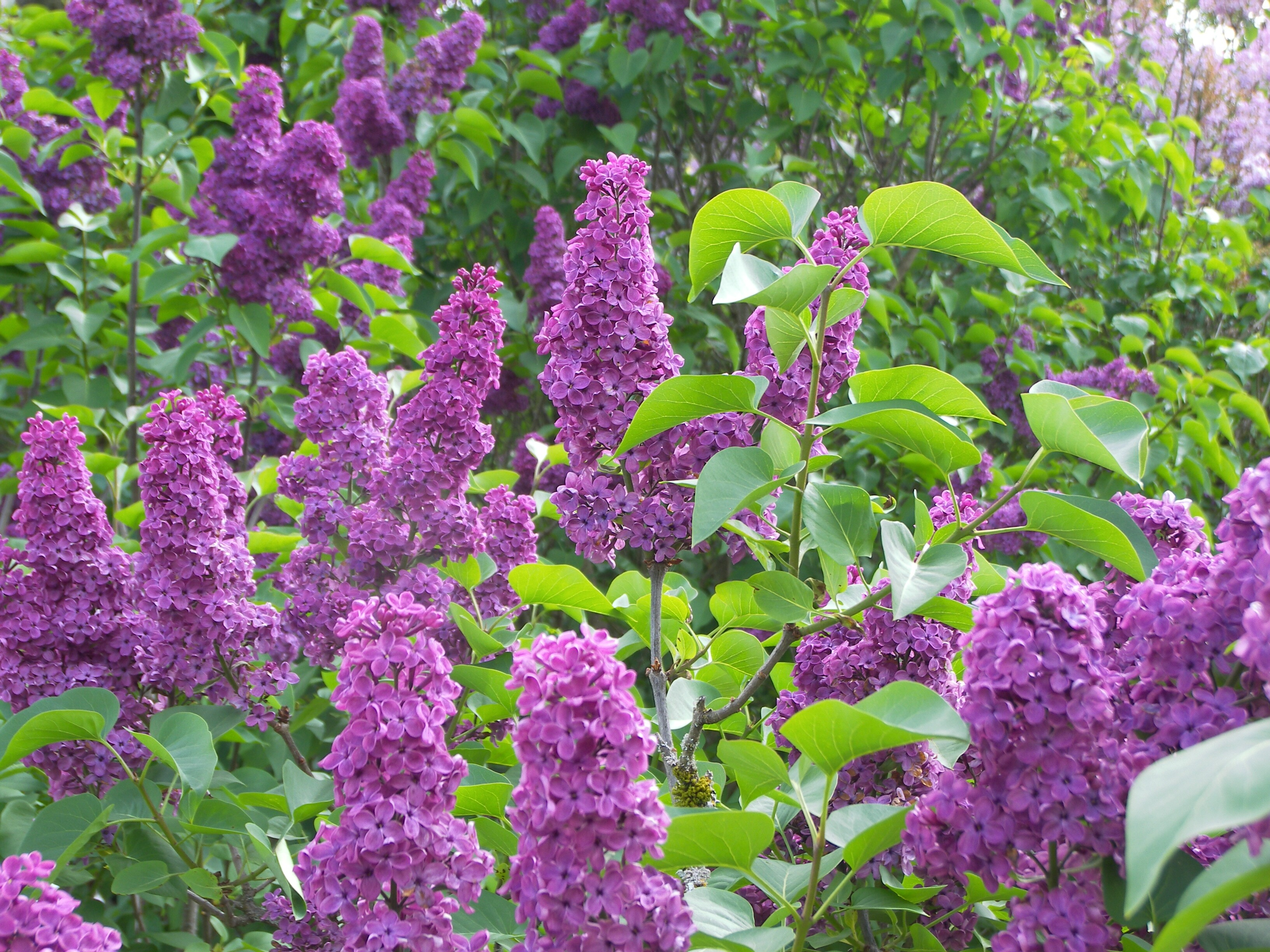 WHITMANu0027S TRINITY OF REMEMBRANCE WHEN LILACS LAST IN THE DOOR-YARD BLOOMu0027D : door yard - pezcame.com