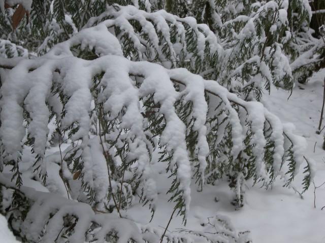 snowyboughs