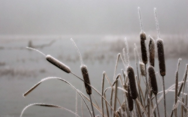 wintercattails